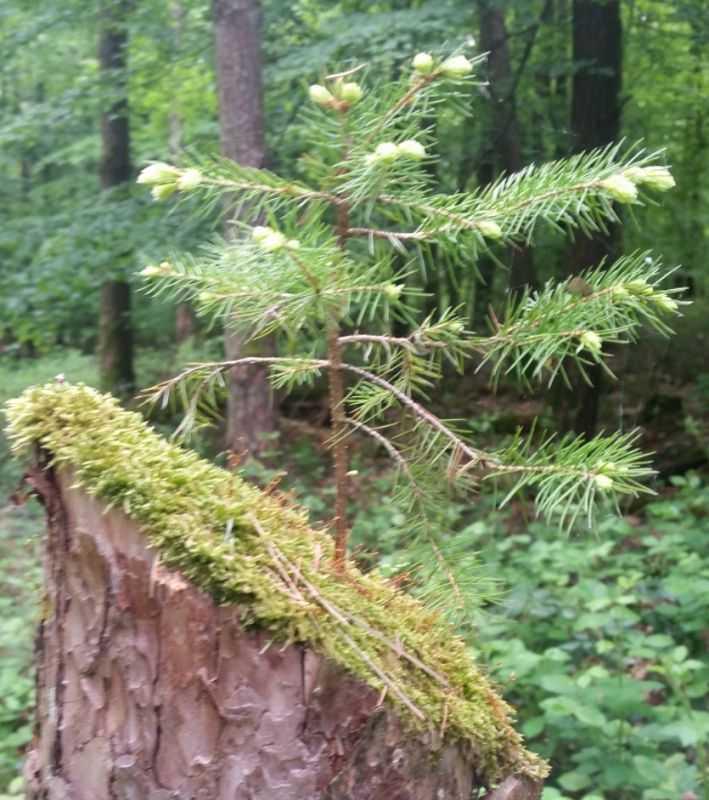 Ein Baum im Beckinger Wald